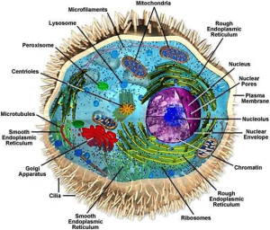 Inner Cell